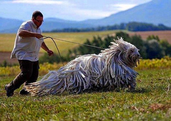 А это комондор, венгерская сторожевая собака