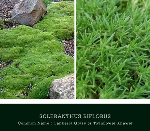 Scleranthus biflorus is a mound growing native ground cover commonly found in Tasmania, Victoria, New South Wales, the Australian Capital Territory, Queensland and New Zealand. The attractive bright green cushion-like perennial grows only a few cm's high and has a dense spread of approximately 40cm. The 'moss-like' plant is suitable when planted as a border, …