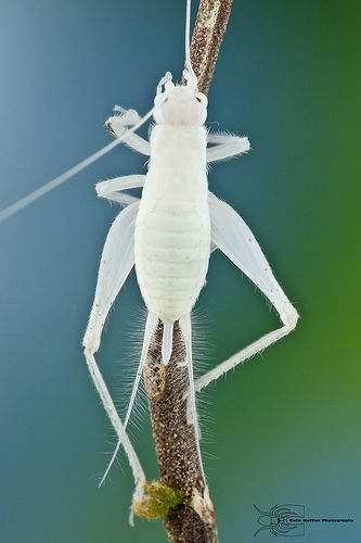 White cricket from Colombia