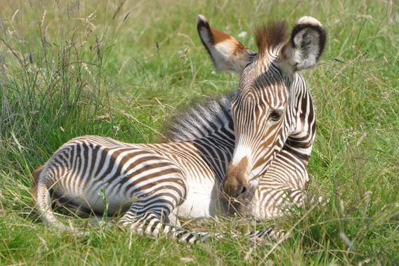 Baby Zebras In Africa 149 best images...