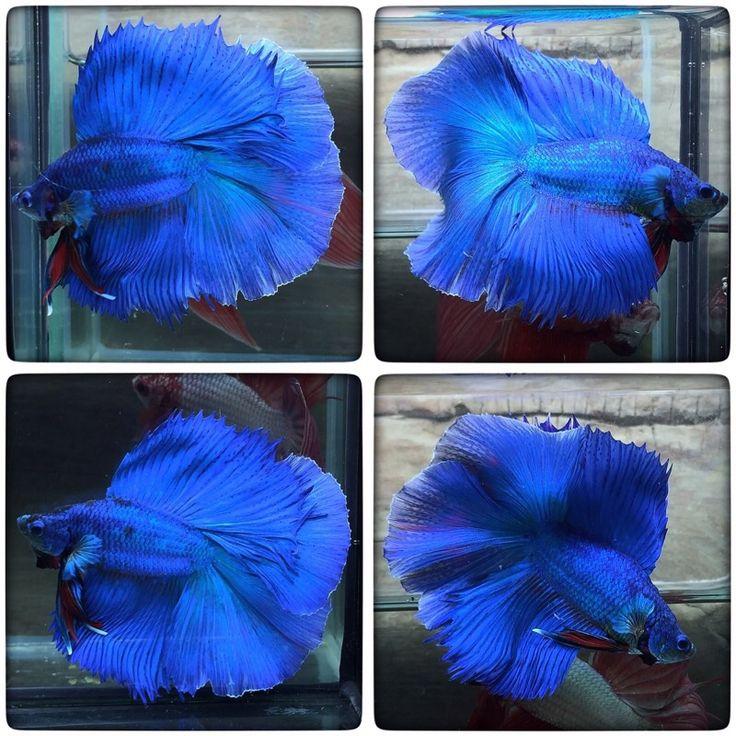 fwbettashm1479169217 - DOUBLE BLUE (2283)