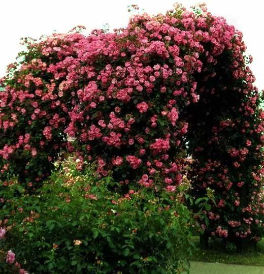 что сделать чтобы плетистая роза пышно цвела