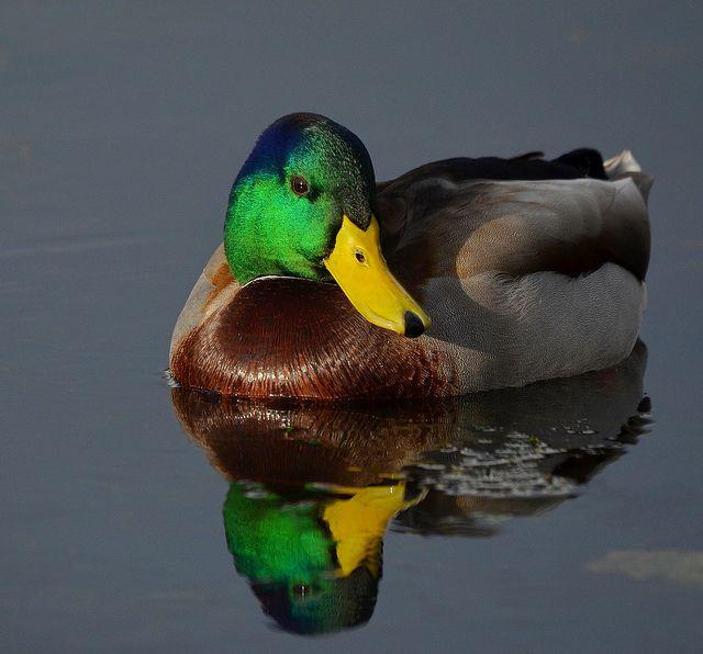 mallard ducks | Male Mallard Duck