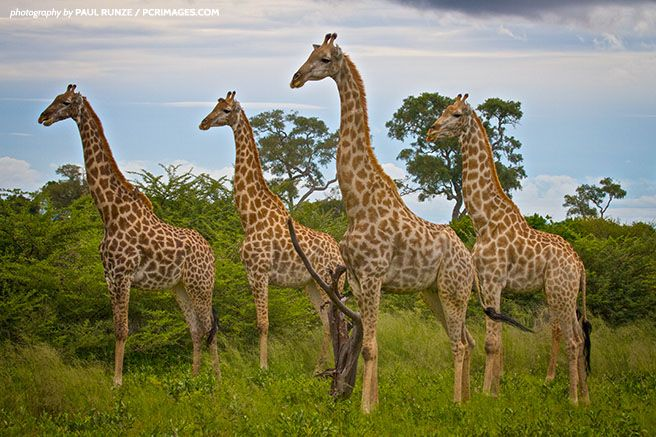 Historically, scientists believed there was only one species of giraffe, with nine subspecies scattered across the continent. But through the most comprehensive study of these animals to date, researchers uncovered data suggesting giraffes should be categorized into four distinct species: northern giraffe, southern giraffe, Masai giraffe and reticulated giraffe.