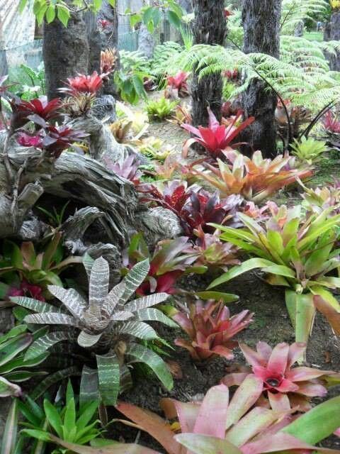 Bromeliad garden under bungalow palm