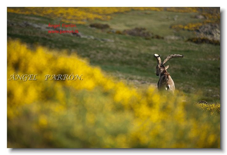 Cabra montesa de Gredos