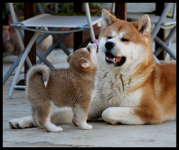 #akita #dog #puppy