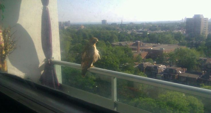 hawk - i named him hudson