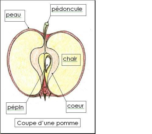 Etudions la pomme ... - maternelleservins2011