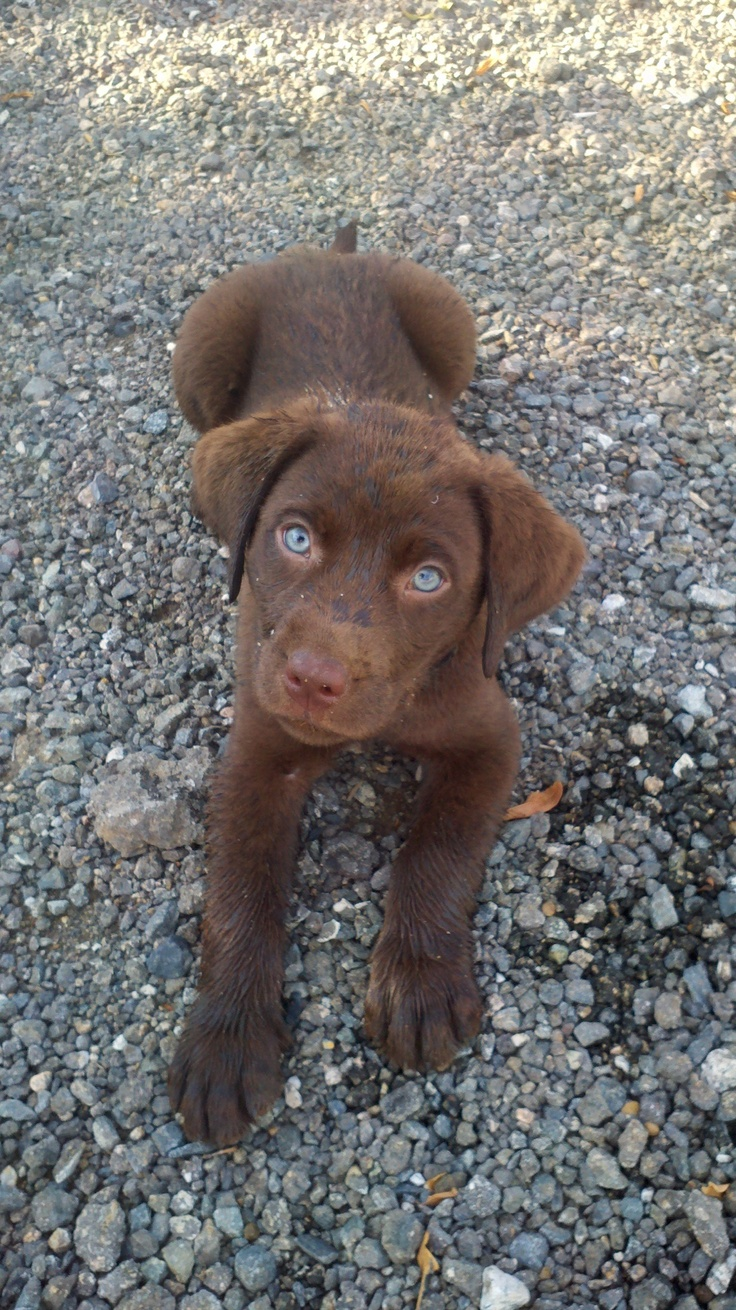 93 best Lab Puppies images on Pinterest | Chocolate labs ...