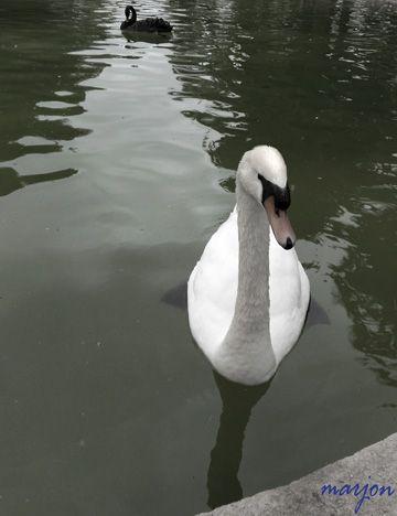 black n white swan