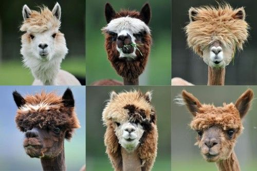 Alpaca's. Just a weird note if I were a female alpaca, the top left would be my man. Amazing hair!