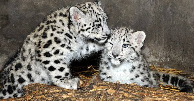 Chicago Has Just Been Blessed With Two Rare Snow Leopard Cubs - BuzzFeed News