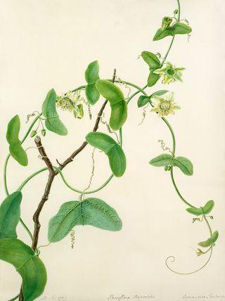 Margaret Meen -- Passiflora vespertilio -- Passion flower -- View By Flower -- RHS Prints