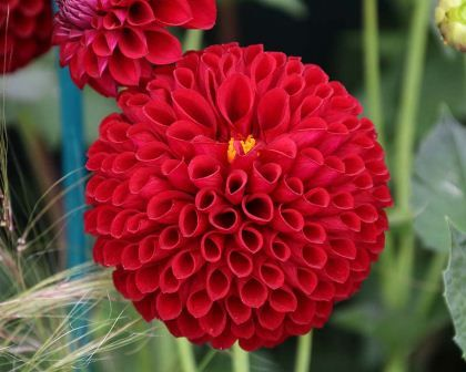 Dahlia Ball group: The Dahlia Ball Group are delightful perennial plants that produce full double blooms that are made up of multiple shell shaped petals that cluster together tightly to produce a smooth ball shape.  They come in a variety of colours and sizes though this group is generally smaller than others.  They make excellent bedding plants and cut flowers.