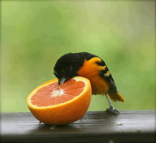 Topotepuy Venezuela Oriole Bird Baltimore Orioles