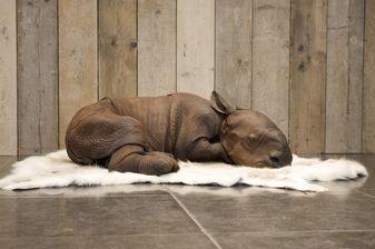 Rhinocalf - Polyester