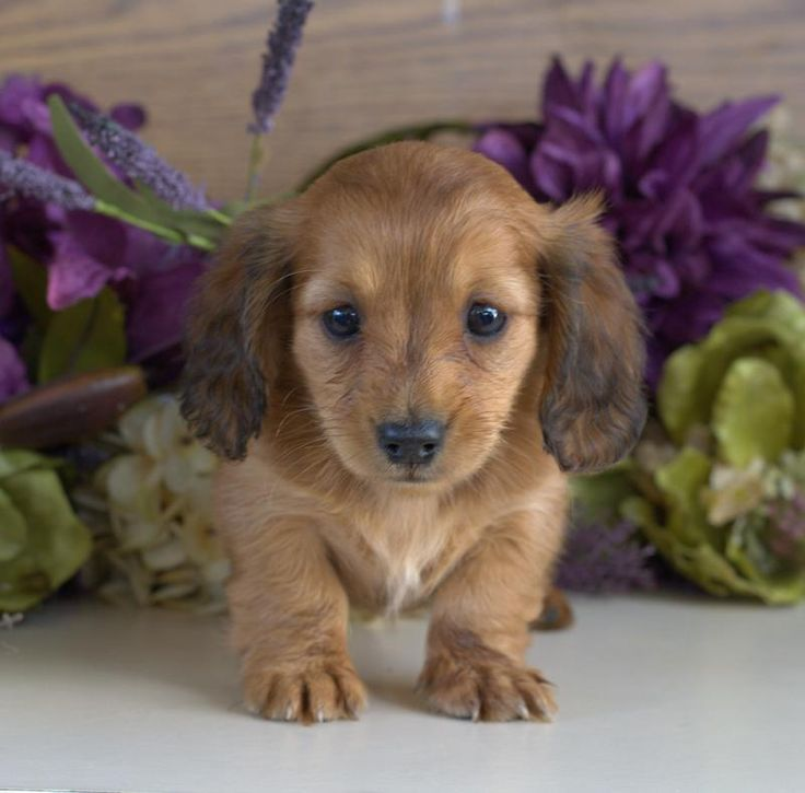 Dachshund Puppies For Sale & Miniature Puppy | Down Home Dachshunds