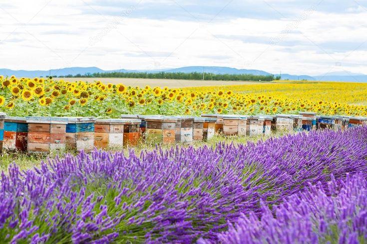 Пчелы ульи на лавандовые поля, вблизи Валансоль, Прованс — стоковое изображение #77056073