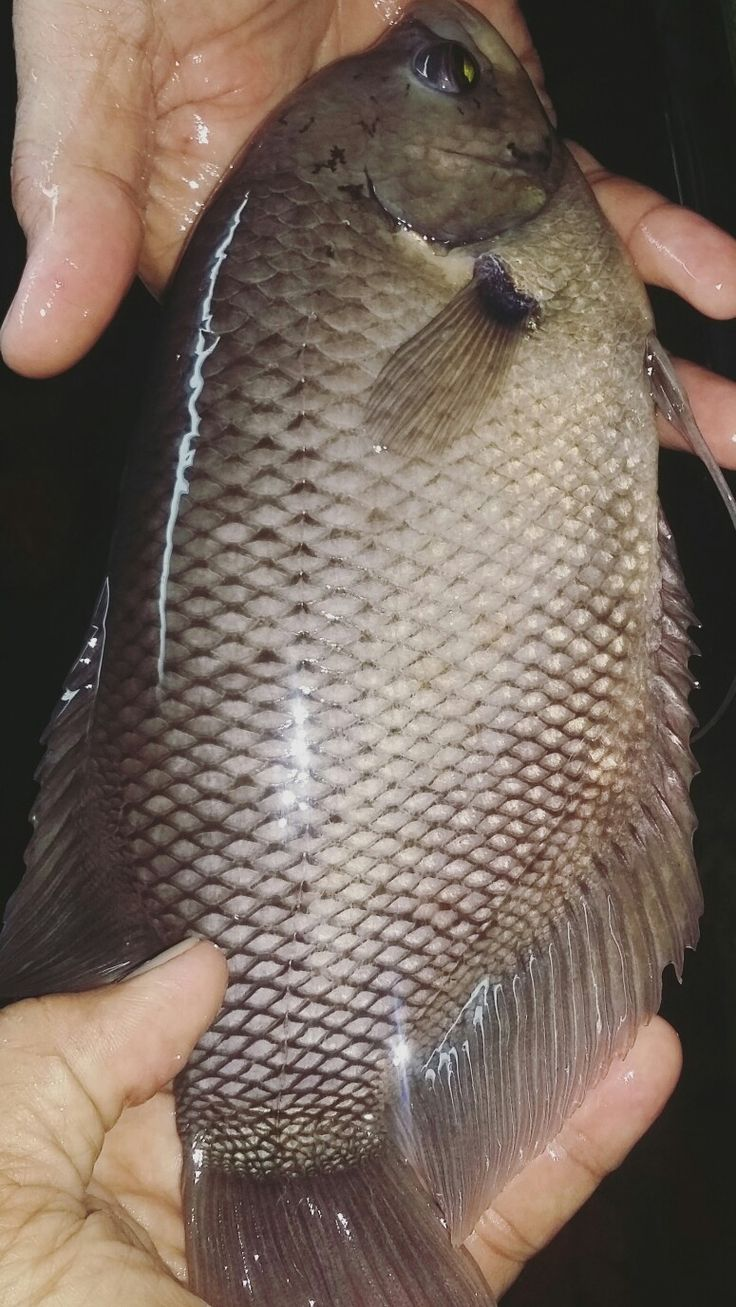 Gurame Fish