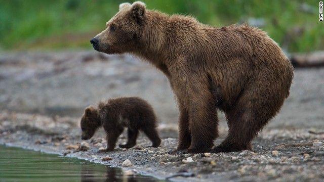 "EE. UU. | ALASKA |||||||||| - ""Katmai, un parque para vacacionar con osos pardos como anfitriones"". V., 28 Jun 2013. (IPITIMES.COM ® /New York. FUENTE: CNN)."