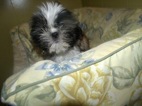 Shih Tzu Puppy For Sale In Paterson Nj Adn 59028 On Puppyfinder