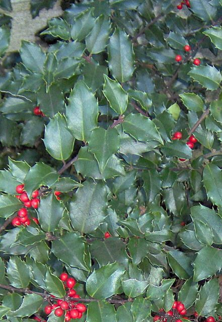 China Girl Holly Bush This Is The Kind Of Holly Bushes I
