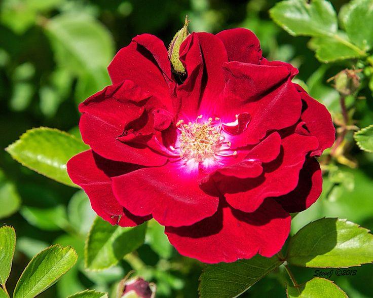Fairmount Cemetery Heirloom Roses - Fairmount Heritage Foundation