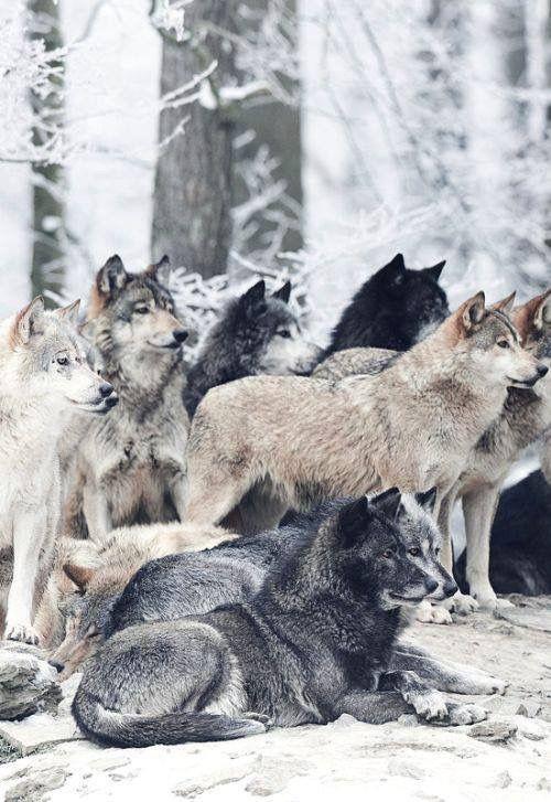 Loup  wolf. Meute, bande, wolfpack, tribu, famille, ami, ensemble, groupe