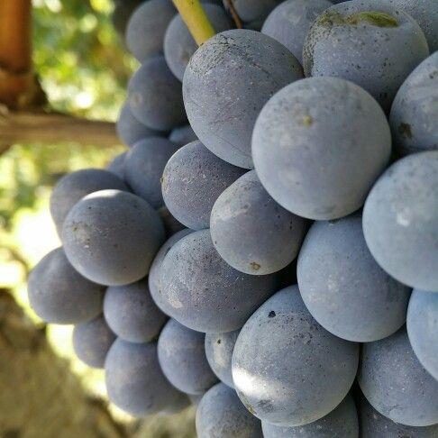 E' tempo di #barbera #barberadalba #dianodalba #harverst #harvest2015 #fratelliaimasso #instalanghetti #igerslanghe #ig_cuneo #ig_Piemonte #vendemmia2015 #vendemmiaitalia #nofilter #cool #wine #grape