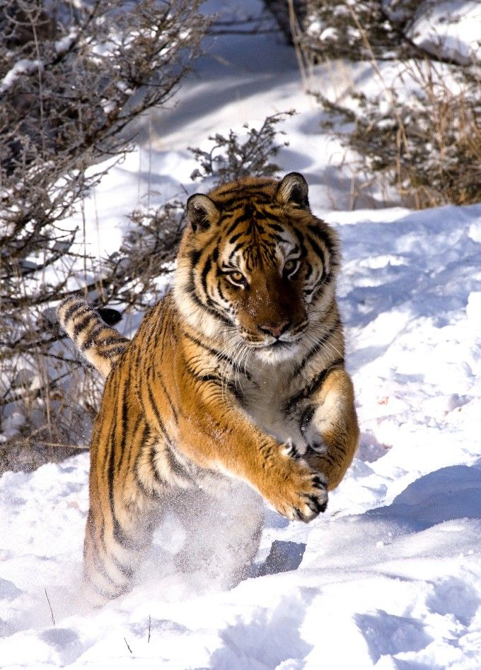 Siberian Tigers live in the Russian Far East and are endangered due to poaching and ecological issues.