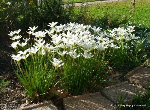 15 RAIN LILY BULBS zephyranthes candida white autumn crocus flowering edging plants LILLY by tobysoats - $10.00