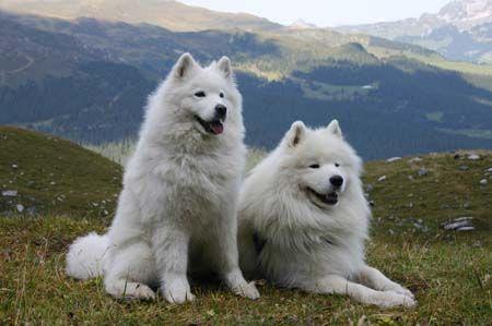 Voici mon futur chien - Le samoyède. Aussi beau et poilu qu'un gros ourson...                                                                                                                                                                                 Plus