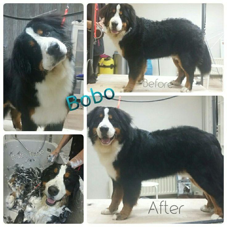 Bernese Mountaindog Bobo