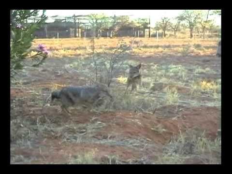 Joyful jackals at play in the Kalahari Raptor Centre