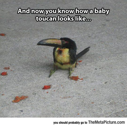 Just A Tiny Baby Toucan