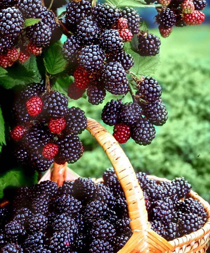 Thornless Freedom Everbearing Blackberries | How Does Your ...