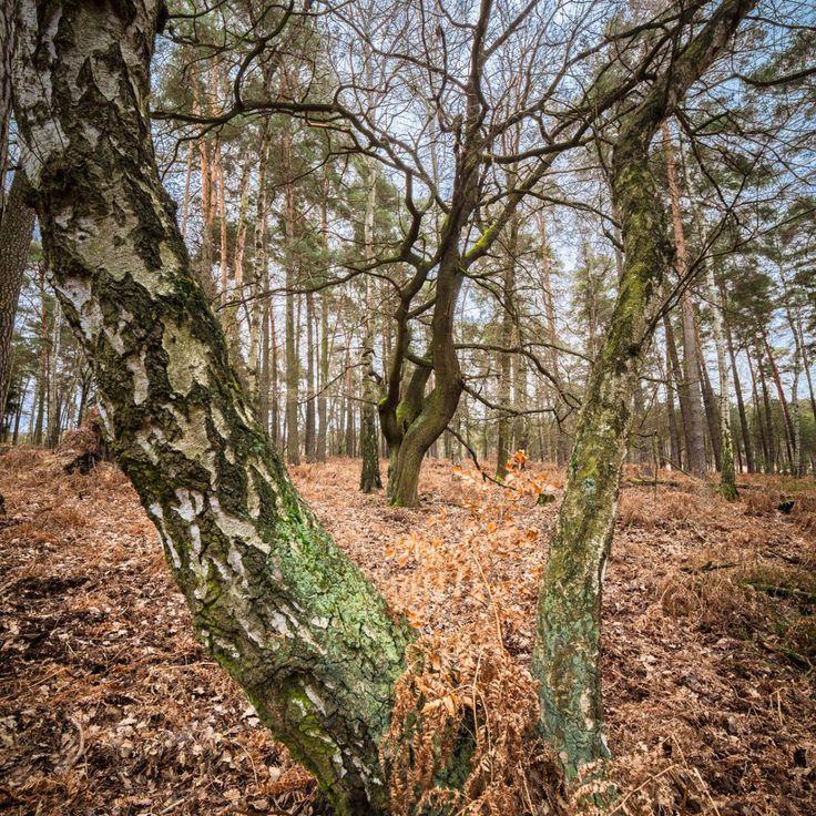 Bild 7 - Zadlitzbruch in der Dübener Heide bei Torgau | © Michael Eichhorn #zadlitzbruch #dübener_heide #naturschutzgebiet #sachsen #saxony #ausflugsziel #torf #moor #hochmoor #wandern #dübenerheide #duebenerheide #torgau #baddueben #baddüben #wald #sumpf #sumpfgebiet #natur #naturschutz #reservat #biosphäre #biosphere #farn #naturpark #falkenberg #trossin #dresden #nordsachsen #leipzig #sehenswürdigkeit #ziel #sonnentau #sumpfdotterblume #kranich #birke