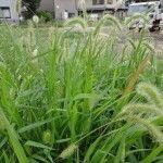 foxtail-weeds