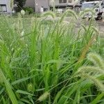 foxtail-weeds