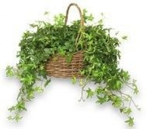 ivy plant in basket - have several of these around. When they get dusty just stick them in the shower to clean and put somewhere up to drain and dry.