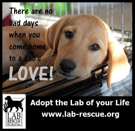 Love our rescued lab and this wonderful organization where we got her. So many dogs waiting for their furever homes. www.lab-rescue.com #labs