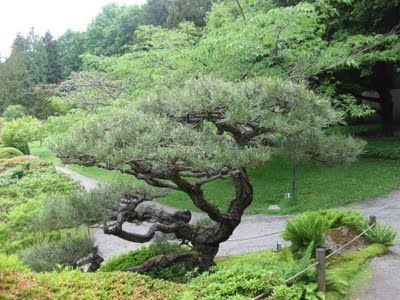 Pinus thunbergii, Japanese Black Pine;
