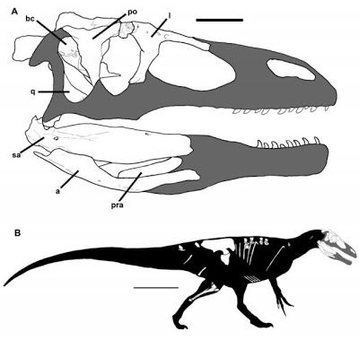 This is a skull and body reconstruction of the new dinosaur species, Murusraptor barrosaensis. Credit: Coria et al (2016); CCAL