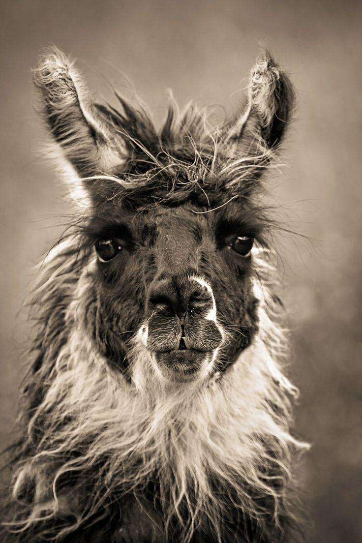 Llama hairdo