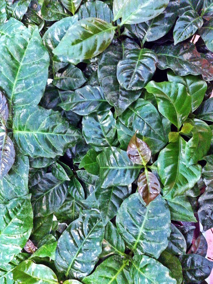 Kaffeplante, Coffea arabica, er en nem stueplante, som pryder med sine glinsende, grønne blade. #kaffeplante #coffeeplant #coffee #kaffe #coffeaarabica #stueplante #houseplant #indoorplant #plantorama