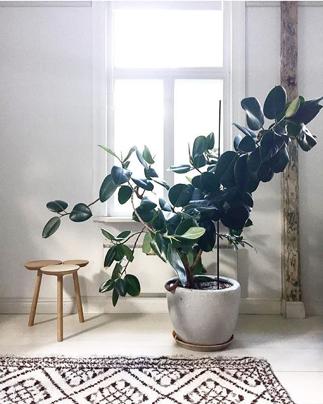 Green Goals; epic Ficus Elastica (Rubber Plant), just what we need on a Monday morning. Spotted via the beautiful feed of @greenhomebook - a title we can't wait to get our hands on when it's published #ivymuse #ficuselastica #rubberplant
