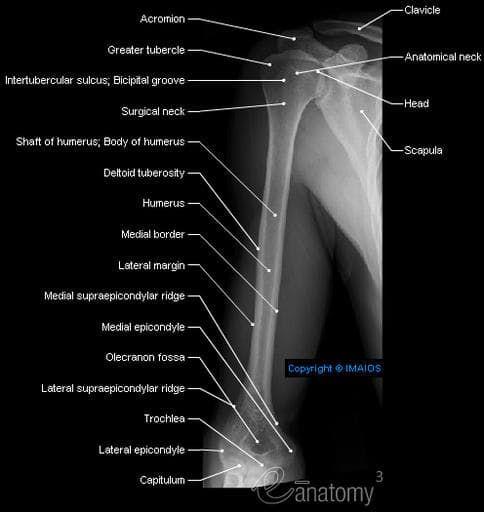 Radiography - Arm - Humerus : Shaft of humerus; Body of humerus, Surgical neck, Medial supraepicondylar ridge, Medial epicondyle, Greater tubercle, Anatomical neck