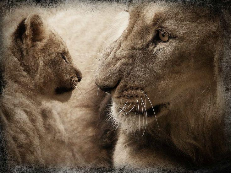 صور شبل الاسد Lioness And Cubs Lion Poster Cubs Pictures