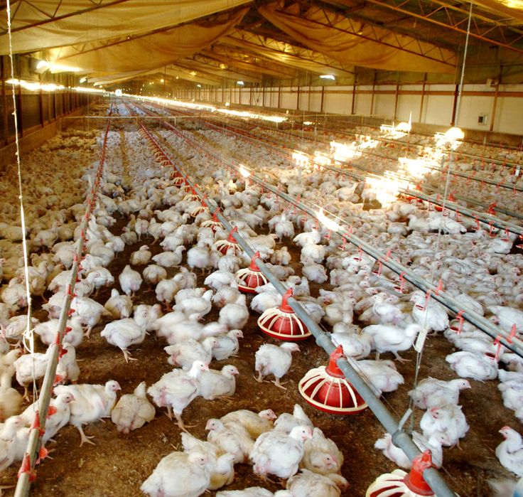 Simple Poultry Housing Tips for Poultry Owner.
